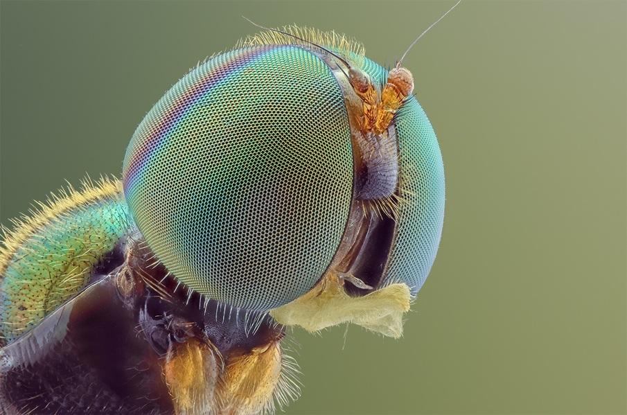 Amazing Macro photographs of bug eyes Macro Photography of Insect Eyes