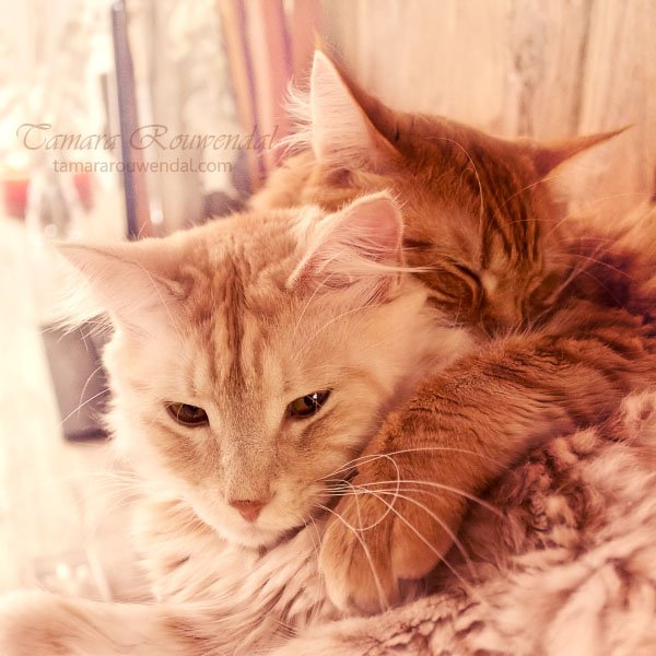 Cute Maine Coon cats photography 17 Cute Cats Photography by Tamara Rouwendal