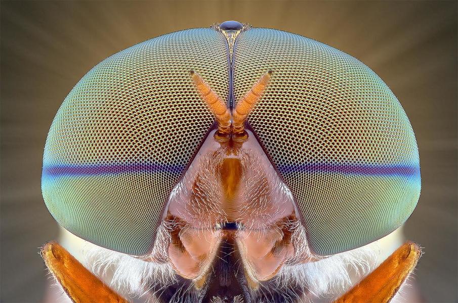 Incredible Macro photographs of bug eyes Macro Photography of Insect Eyes