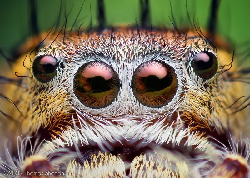 Macro Photography Mystaceus Spider eyes 2