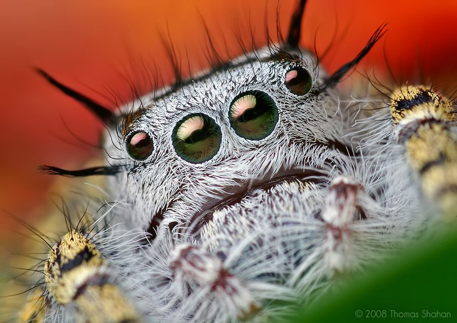 Macro Photography Mystaceus Spider The Best Capture Macro Photography of Insect