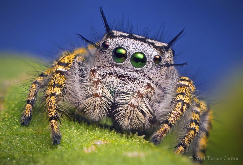 Best Macro Photography Phidippus Mystaceus Spider