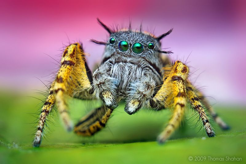 Macro Photography Phidippus Spider The Best Capture Macro Photography of Insect