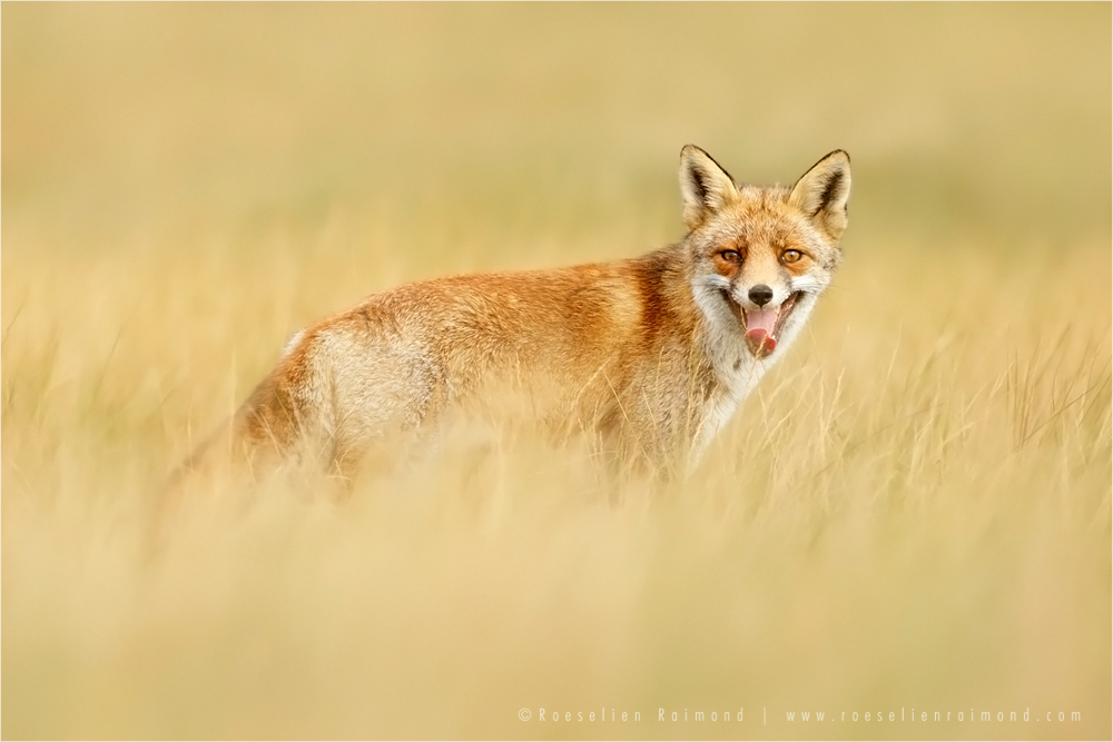 life captured photography of animal 3 life captured photography of fox by thrumyeye