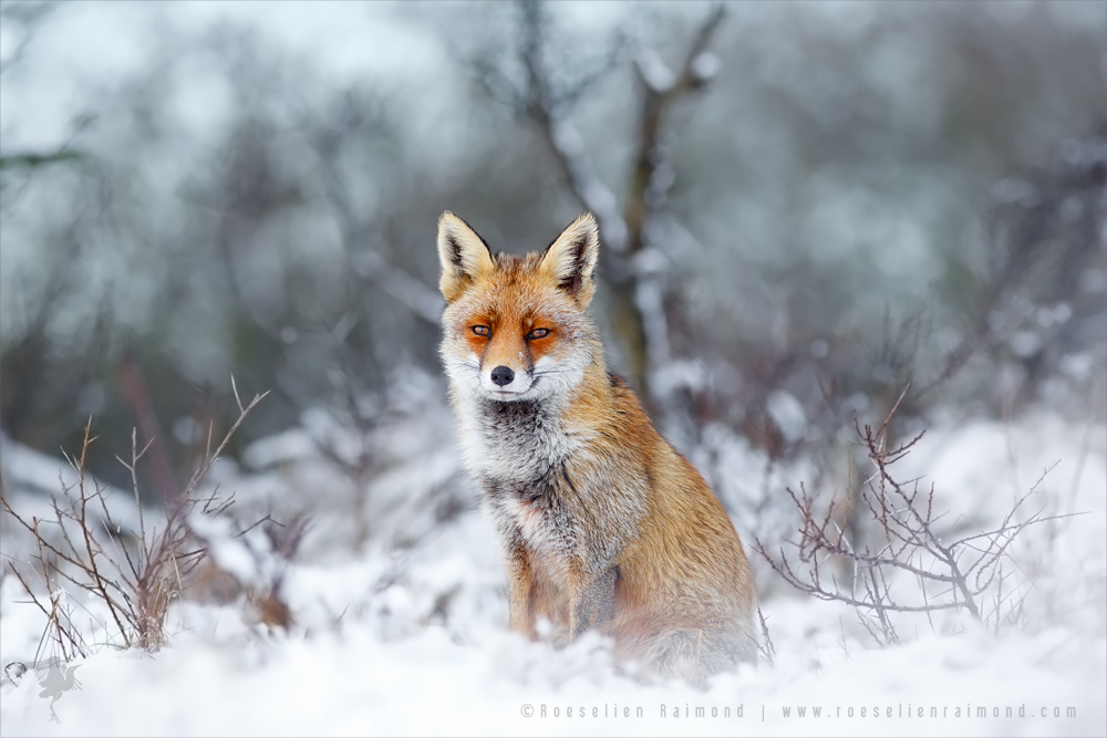 life captured photography of animal 6 life captured photography of fox by thrumyeye