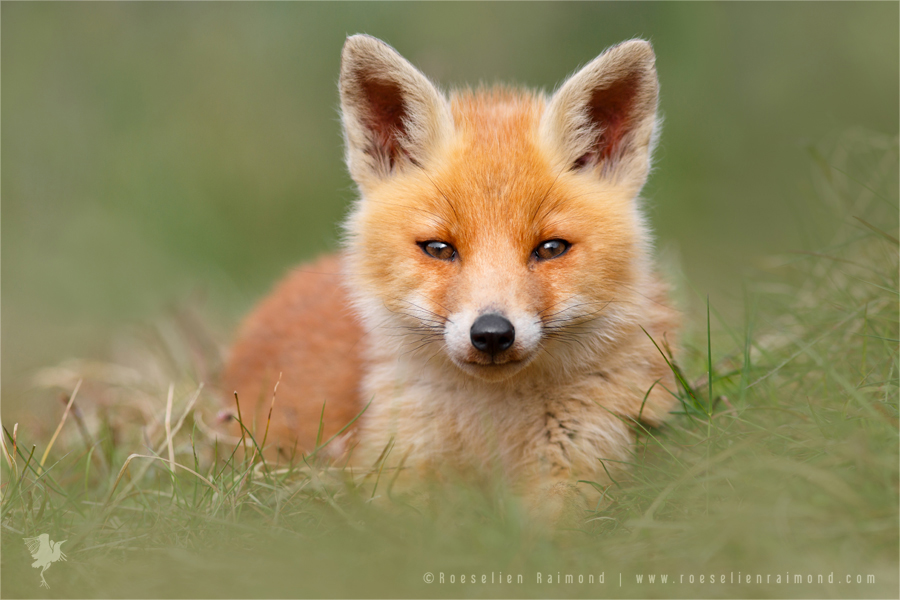 life captured photography of animal 7 life captured photography of fox by thrumyeye