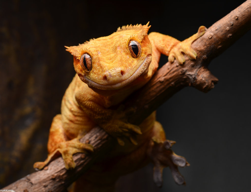 Cute Gecko Face photos 2