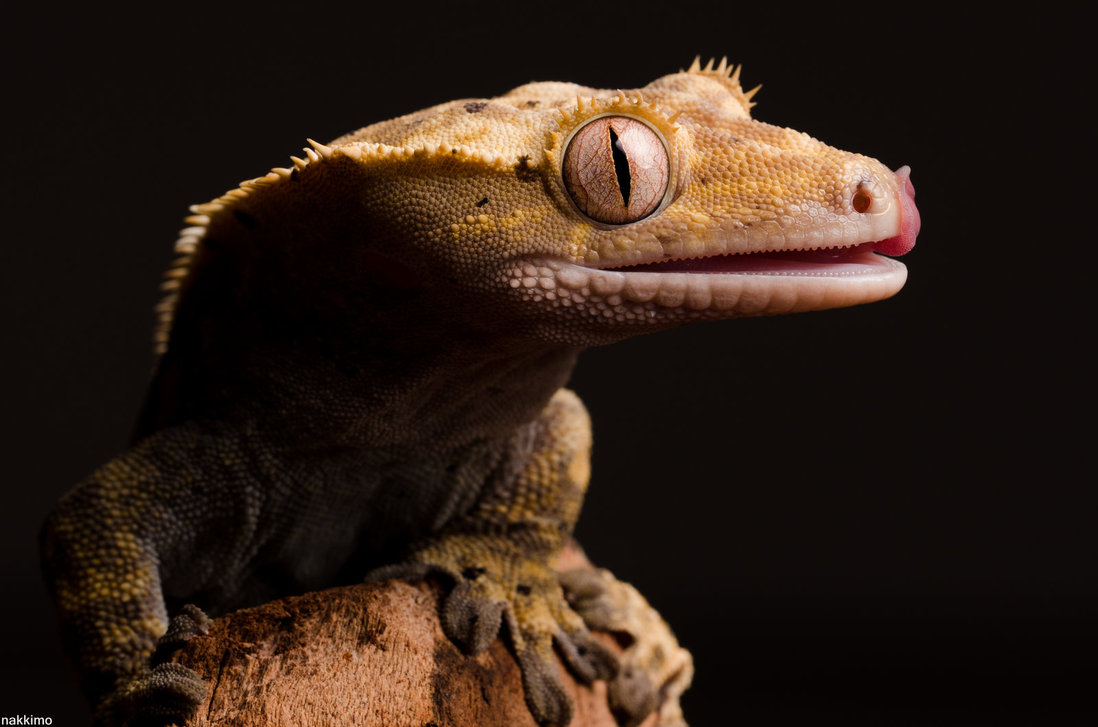 Cute Gecko Face photos 3 Macro Photography of Gecko Face by Nakkimo