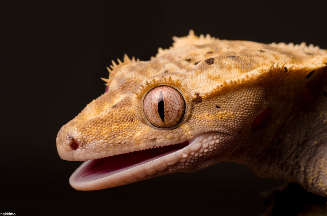 Cute Gecko Face photos 4 Macro Photography of Gecko Face by Nakkimo