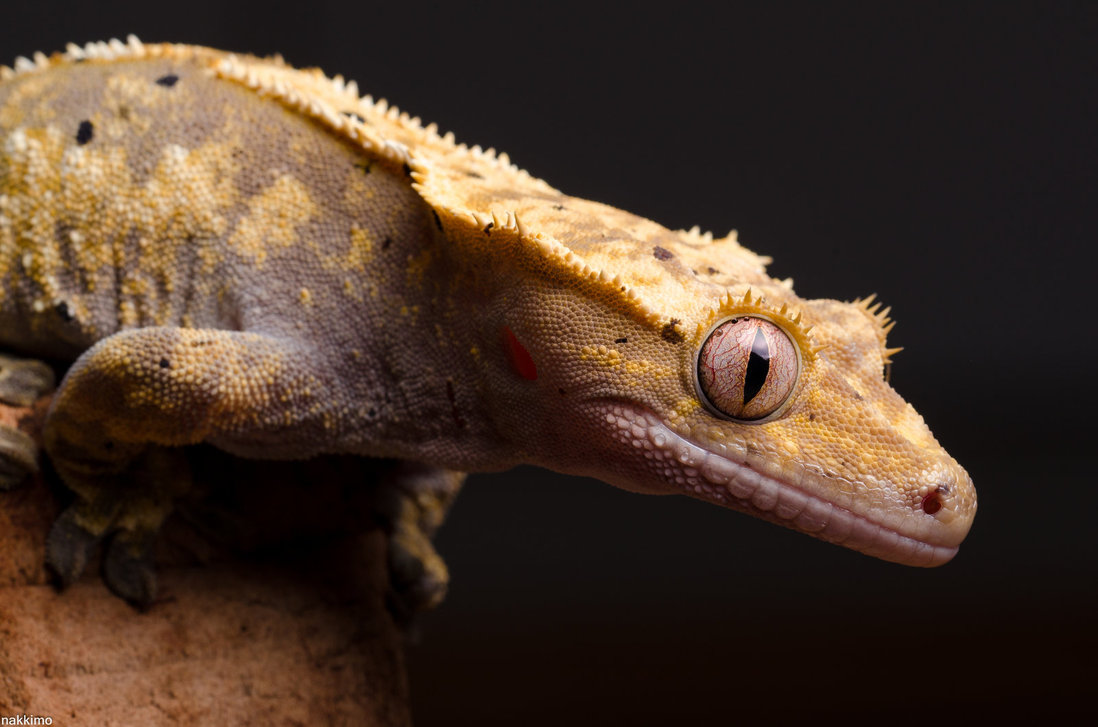 Cute Gecko Face photos 5 Macro Photography of Gecko Face by Nakkimo