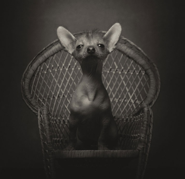 Animal Human Portraits Photography Vincent Legrange 01 Dramatic Portraits Of Animals Expression Like Human Emotions