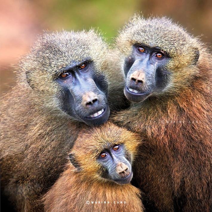 Baboons wild animals photography by Marina Cano 01