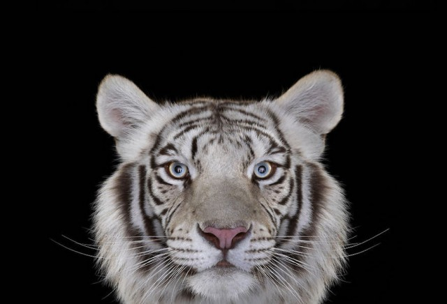Beauty and Exotic animal photography 01 Beautiful Portraits of Exotic Animals by Brad Wilson