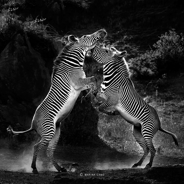Black an white wild animals photography by Marina Cano 01 Splendid Wild Animals Photography by Marina Cano