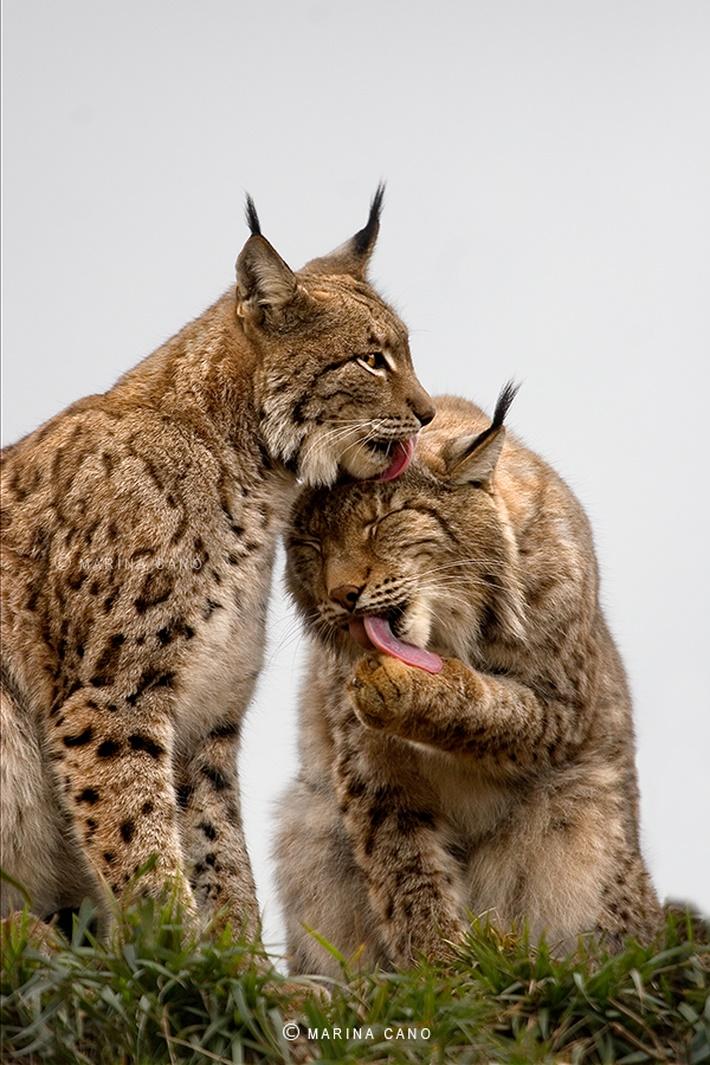 Cats wild animals photography by Marina Cano 01 Splendid Wild Animals Photography by Marina Cano