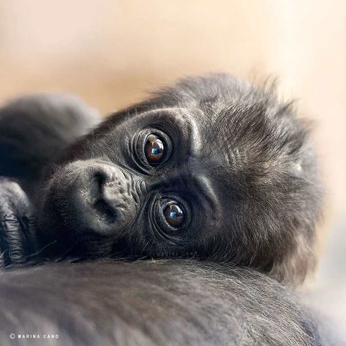 Cute Gorilla wild animals photography by Marina Cano 01 Splendid Wild Animals Photography by Marina Cano