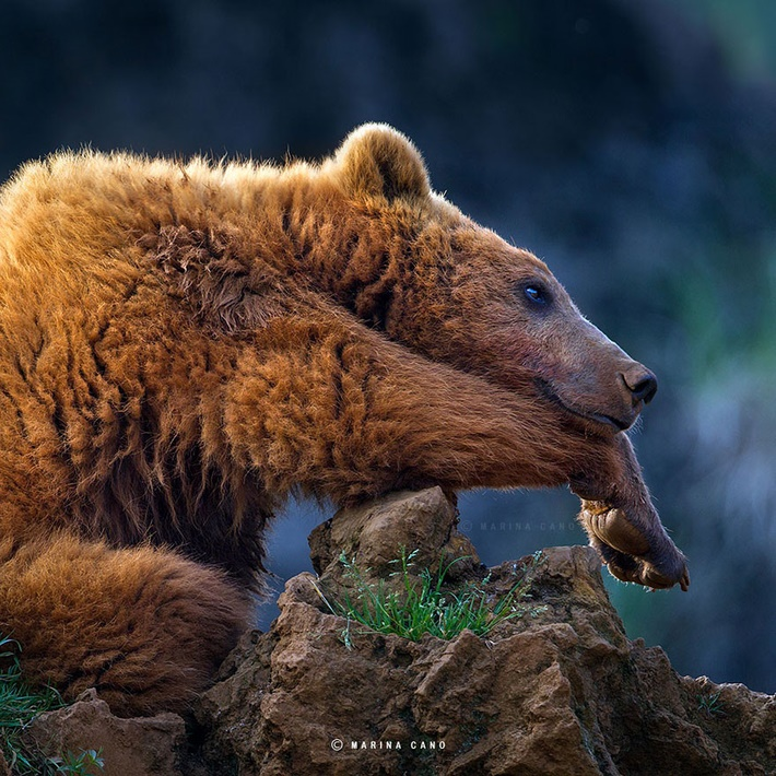 Cute bear wild animals photography by Marina Cano 01 Splendid Wild Animals Photography by Marina Cano