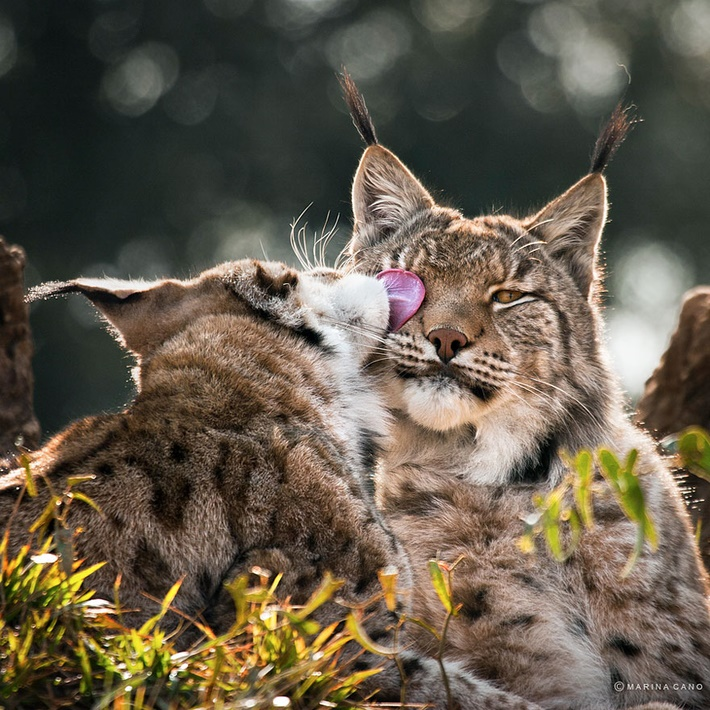 Cute cats wild animals photos by Marina Cano 01 Splendid Wild Animals Photography by Marina Cano