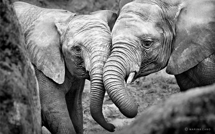 Elephants wild animals photography by Marina Cano 01 Splendid Wild Animals Photography by Marina Cano