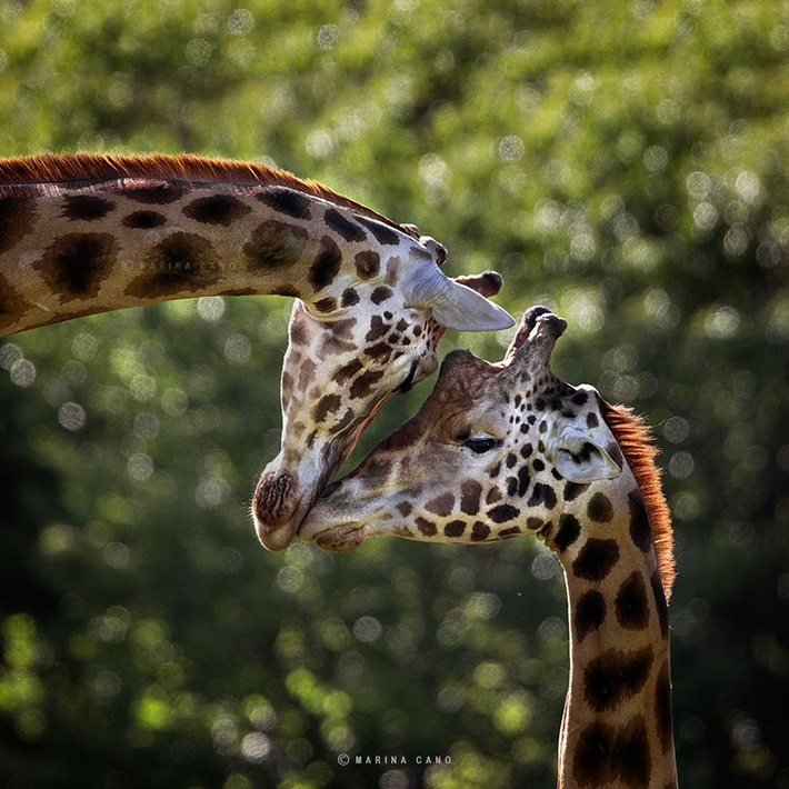 Giraffe wild animals photography by Marina Cano 01 Splendid Wild Animals Photography by Marina Cano