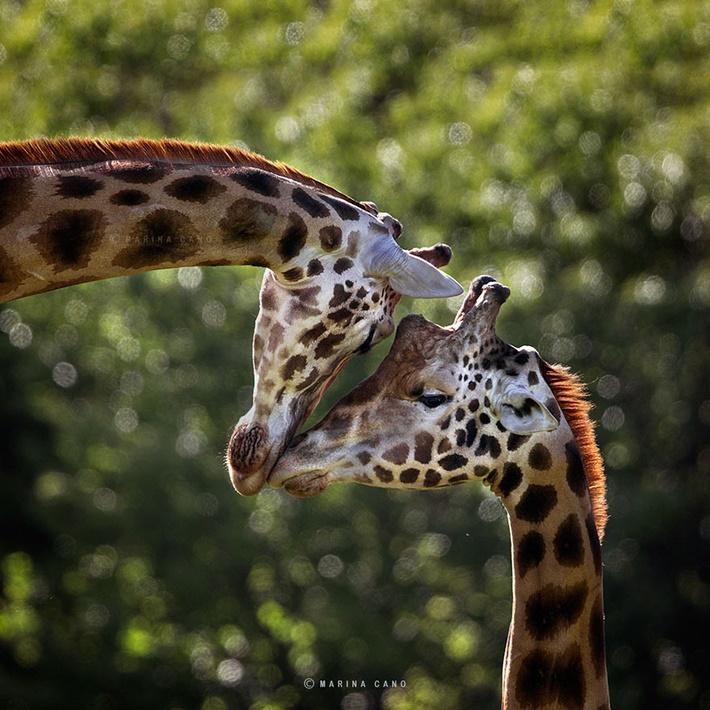 Giraffe wild animals photography by Marina Cano 01
