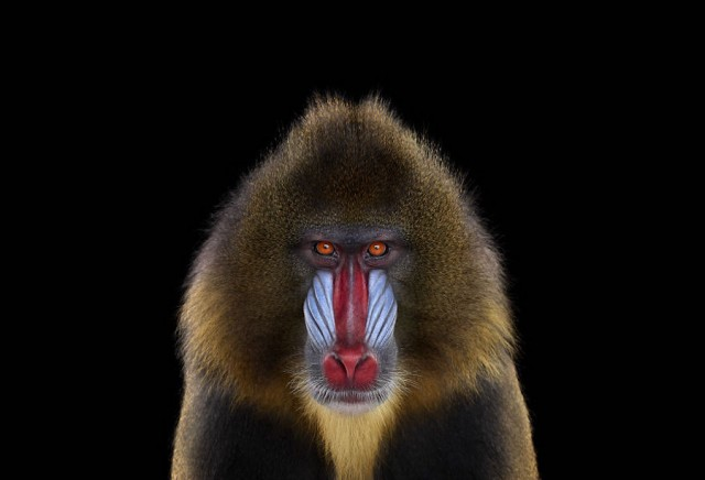 Portrait Exotic animal faces 01 Beautiful Portraits of Exotic Animals by Brad Wilson