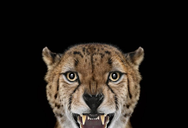 Portrait of Exotic animal looking into camerra Beautiful Portraits of Exotic Animals by Brad Wilson