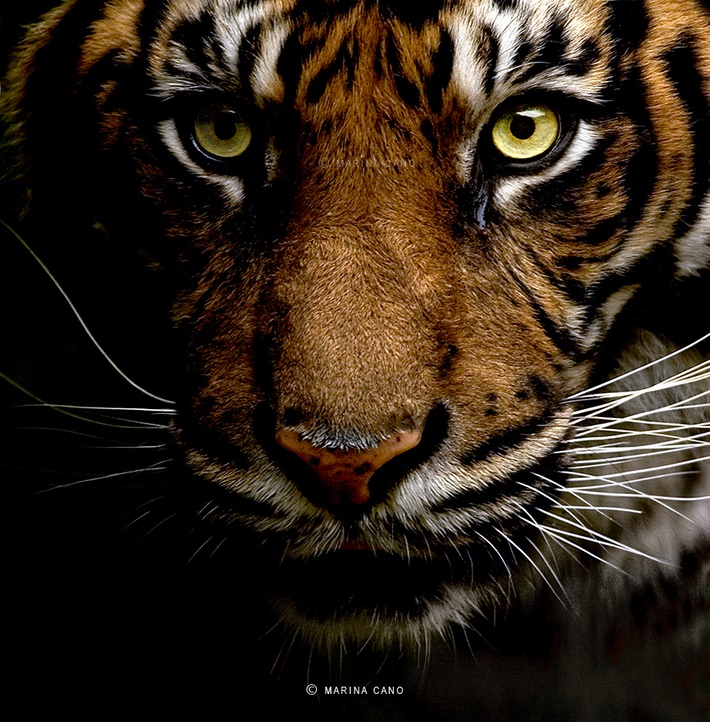 Tiger wild animals photography by Marina Cano 01 Splendid Wild Animals Photography by Marina Cano
