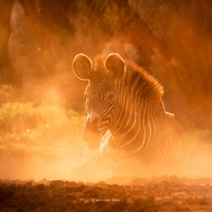 Zebra wild animals photography by Marina Cano 01 Splendid Wild Animals Photography by Marina Cano