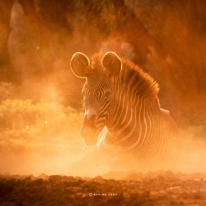 Zebra wild animals photography by Marina Cano 01