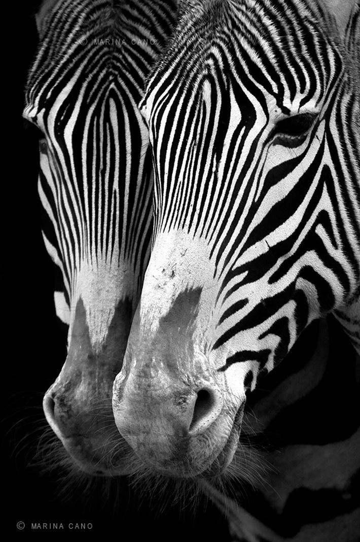 Zebras wild animals photography by Marina Cano 01 Splendid Wild Animals Photography by Marina Cano