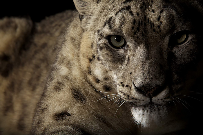 Amazing Wild animal photography by vincent j musi Wild Big Cat Portraits by Vincent J. Musi