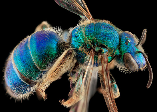 Beautiful Macro photography of bee Macro Bee Portraits Photography by Sam Droege