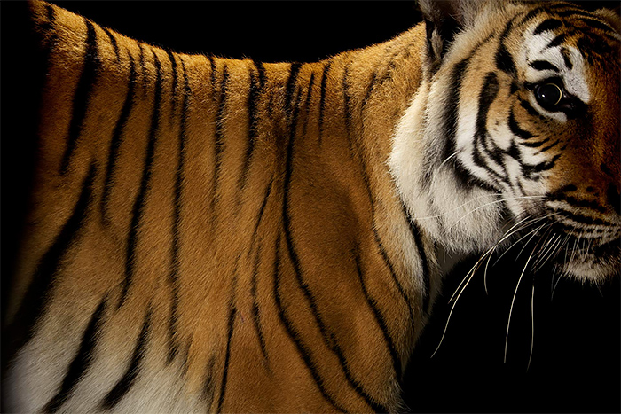 Beauty Tiger portrait photos Wild Big Cat Portraits by Vincent J. Musi