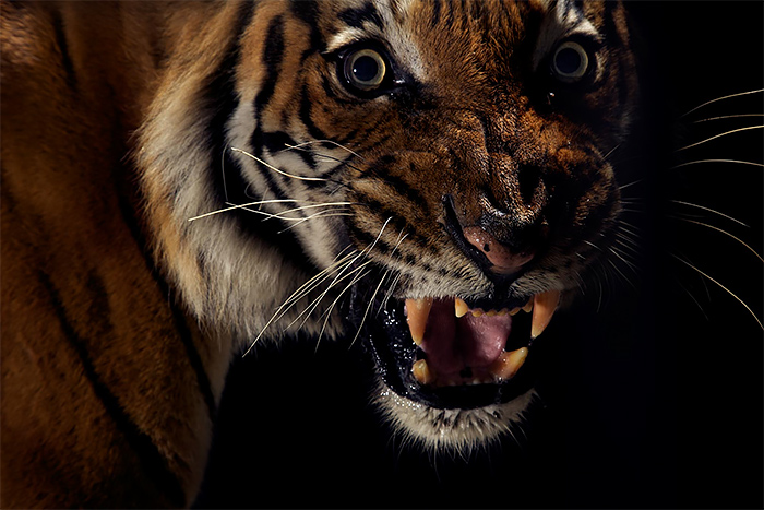 Close up wild tiger photos by vincent j musi Wild Big Cat Portraits by Vincent J. Musi