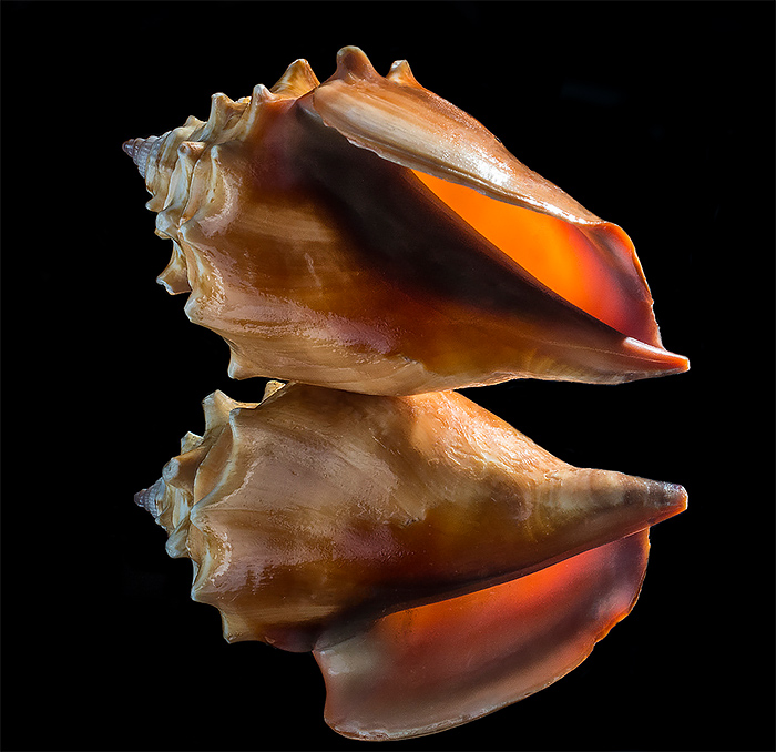 Cool Seashell Photos by Bill Gracey The Striking Beauty of Seashells Photo by Bill Gracey
