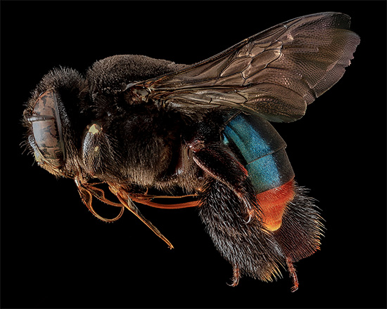 Detailed Bee Macro Photography by sam droege Macro Bee Portraits Photography by Sam Droege