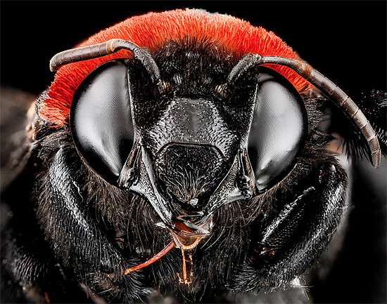 Detailed Macro Bee Portrait by Sam Droege Macro Bee Portraits Photography by Sam Droege