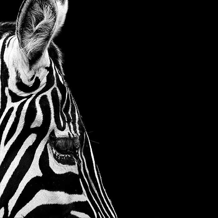 Fine art Animal Photography by lukas holas Brilliant Monochrome Animal Photography by Lukas Holas