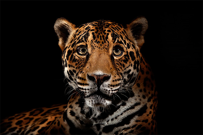 Leopard wild portrait photography by vincent j musi Wild Big Cat Portraits by Vincent J. Musi
