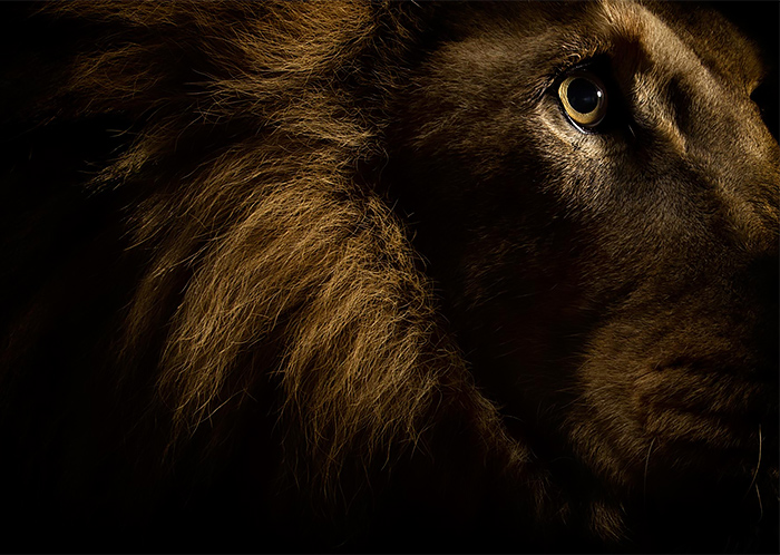 Lion wild Portrait Photography by vincent j musi Wild Big Cat Portraits by Vincent J. Musi
