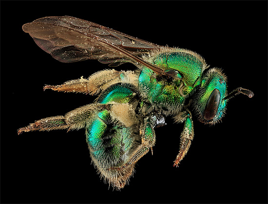 Macro Bee Portrait photography by Sam Droege Macro Bee Portraits Photography by Sam Droege