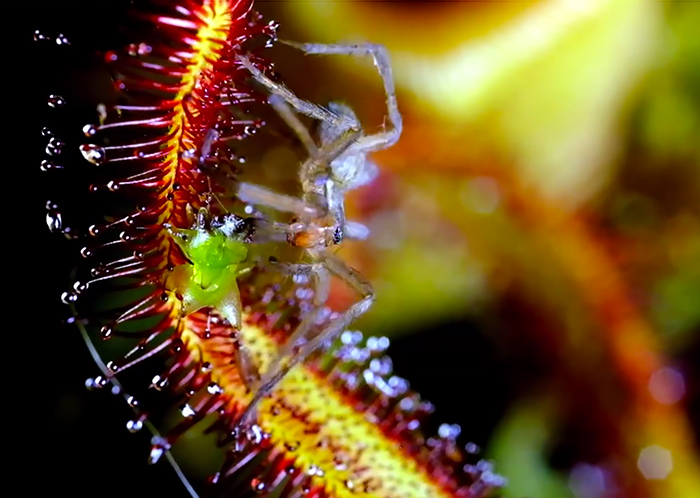 Macro Photos of Carnivora Gardinum Plant by Chris Field