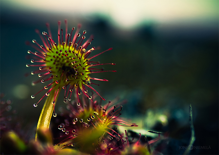 Macro Photography of Carnivorous Plants by Joni Niemela 01 The Beauty Macro Photography of Carnivorous Plants by Joni Niemela