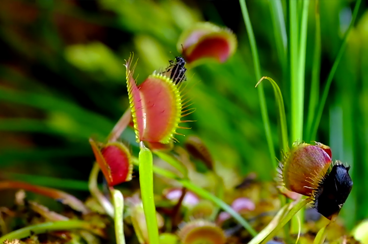 Macro Photos of Carnivora Plant by cris field Macro Photos of Carnivora Gardinum Plant by Chris Field