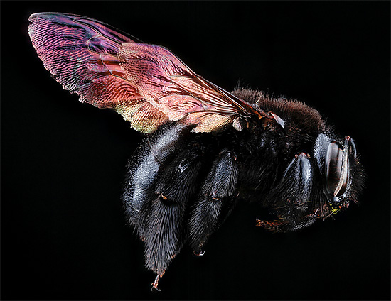 Stunning Macro Portrait photography of Bee 02 Macro Bee Portraits Photography by Sam Droege