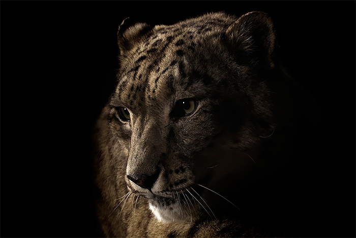 Wild animal portrait photography by vincent j musi Wild Big Cat Portraits by Vincent J. Musi