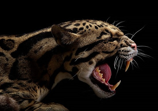 Wild Big Cat Portraits by Vincent J. Musi