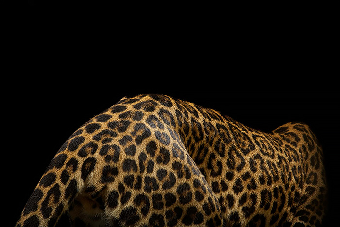 Wild leopard Portrati Photos by vincent j musi 01 Wild Big Cat Portraits by Vincent J. Musi