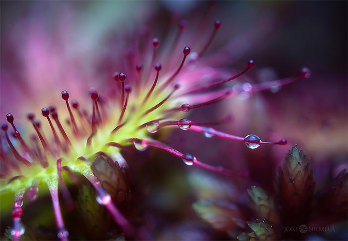 Wonderful Macro Photography of Carnivorous Plants by Joni Niemela 04 The Beauty Macro Photography of Carnivorous Plants by Joni Niemela